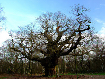 Pohon Oak Mayor