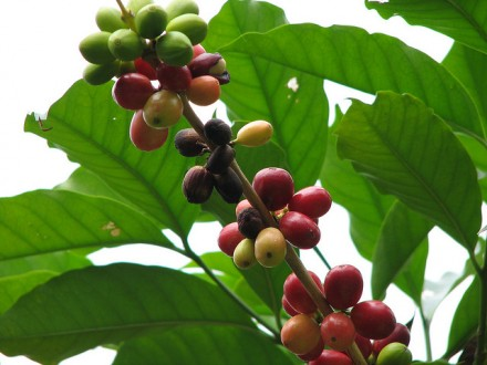 Manfaat daun kopi | image by flickr