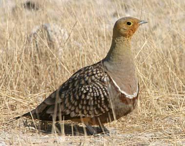 Burung Namaqua