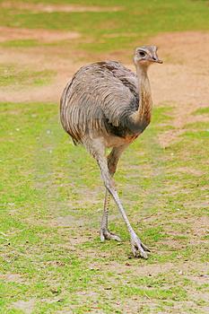 Burung Rhea