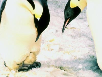 Pinguin Emperor