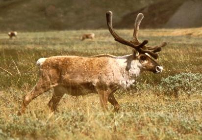 Rusa Caribou