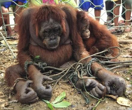 orangutan salah satu satwa langka yang dilindungi } image from reuters