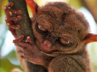 Filipina Tarsier