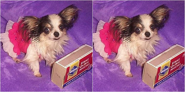 Chihuahua Boo Boo
