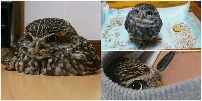 Little Owl, Burung Hantu Terimut di Dunia