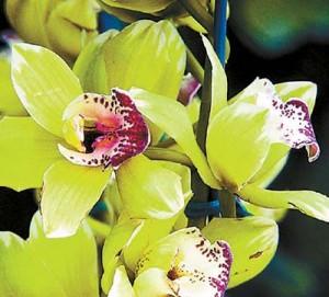 Shenzen Nongke Orchids