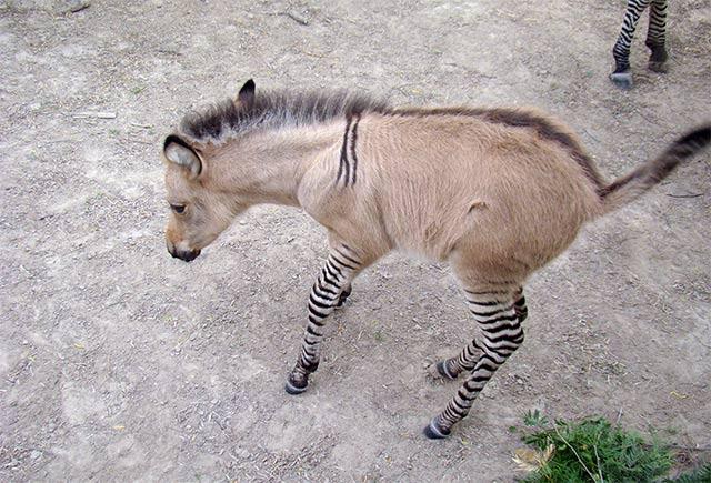 Khumba, Binatang Campuran Keledai dan Zebra