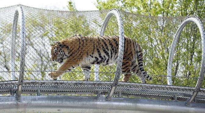 Kebun Binatang Philadelphia Bangun 'Catwalk' Untuk Harimau