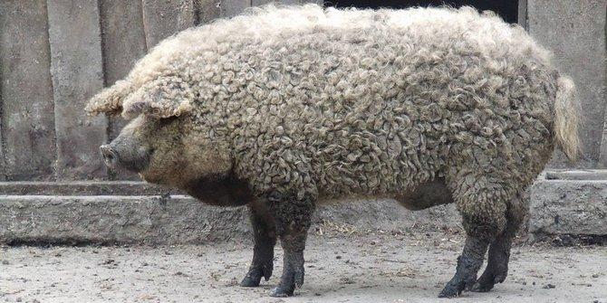 Unik, Ada Babi Berbulu Domba Lho!