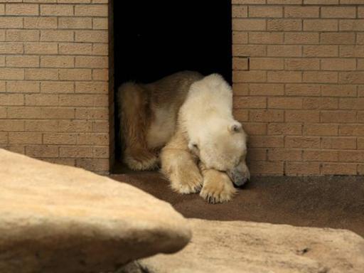 Beruang Kutub ini Meninggal karena Patah Hati