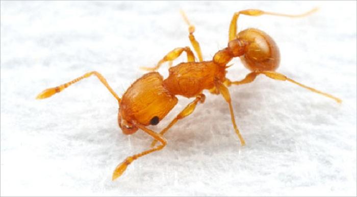 Semut Perkasa Indonesia Jadi Sorotan Dunia