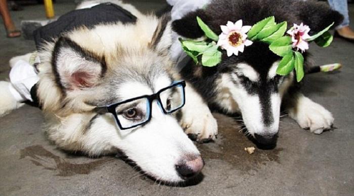 Lucu, Ada Anjing Lakukan Resepsi Pernikahan