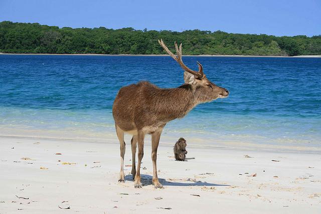 Kancil di Pulau Peucang (copyright: Andreas Adisyahwarman)