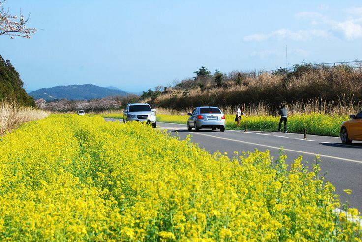 Jeju Canola Blossoms