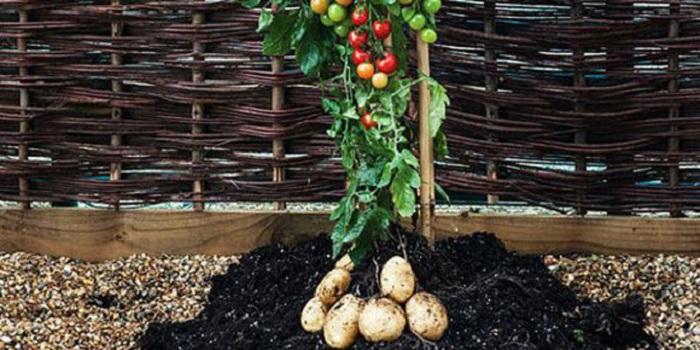 Ajaib, Satu Tanaman Berbuah Tomat dan Kentang