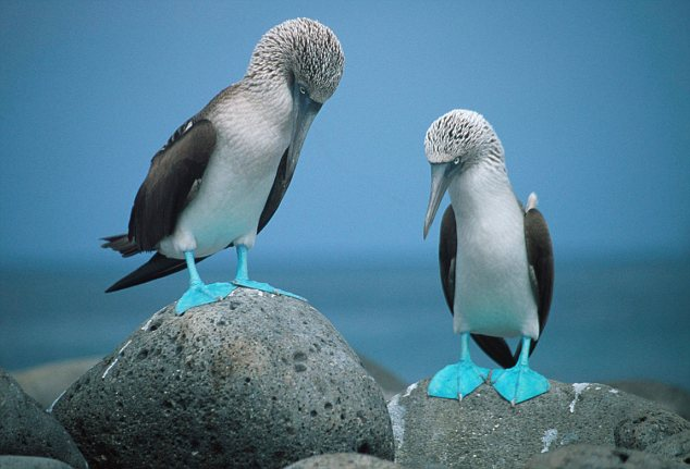 Blue Footed Booby (National Geographic)
