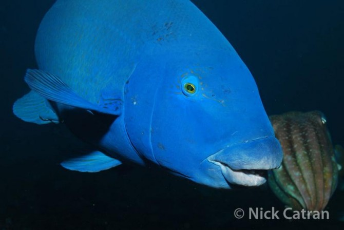 Eastern Blue Gopper (National Geographic)