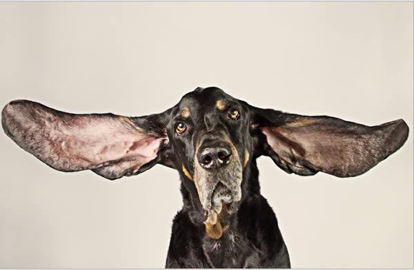 Anjing telinga terpanjang (Oddee)