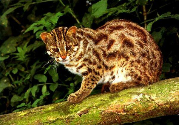 Kucing hutan (Twitter)