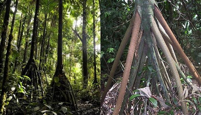Aneh Tapi Nyata, Pohon Ini Bisa 'Berjalan'