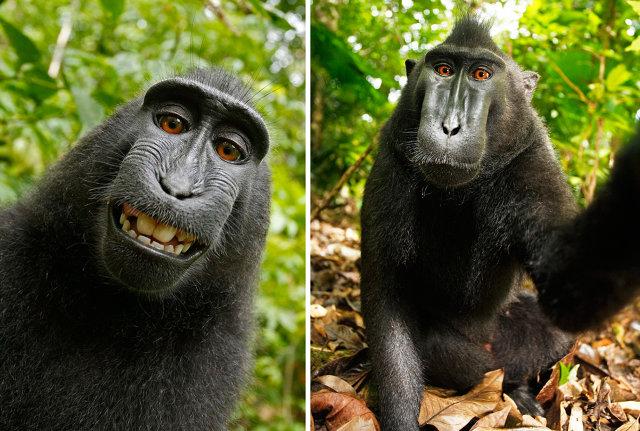 Selfie Hewan Monyet ( fastcompany.com)