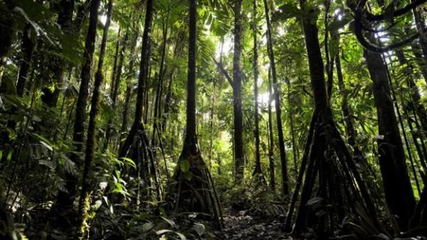 Hutan Socratea Exorrhiza (Odditycentral)