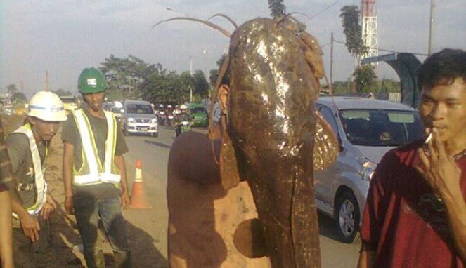 Ikan Lele Raksasa (Viva)