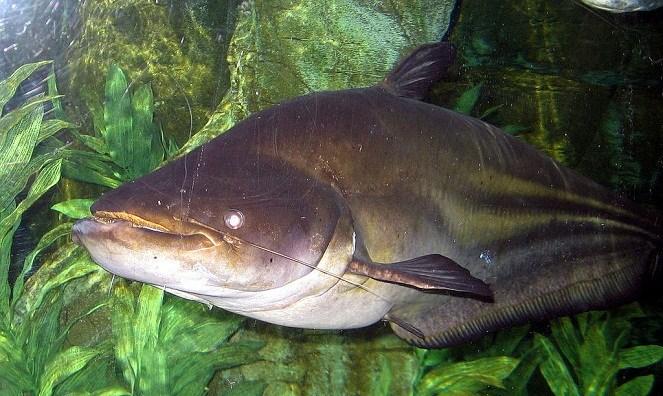 Ikan Tapah (Bitwinshop)