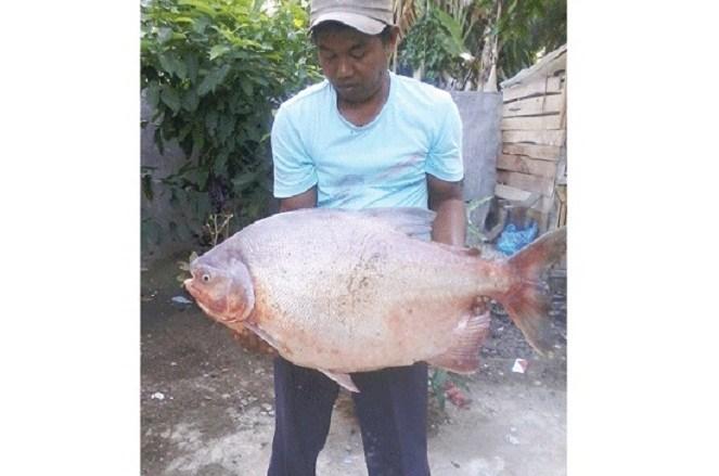 Ikan bawal raksasa (Medanbisnisdaily)
