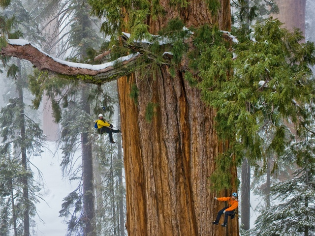 California Redwood (National Geographic)