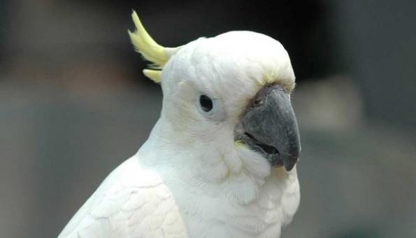 Burung kakatua (Merdeka)