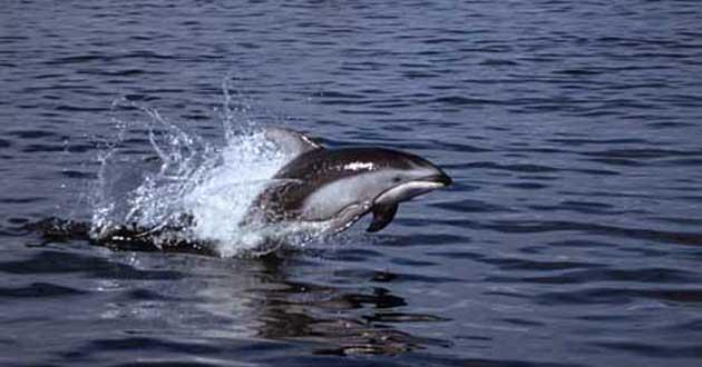 Lumba-lumba di Laut Sawu (Bicarawisata)