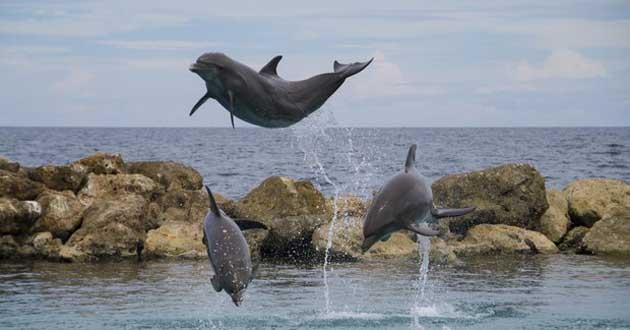 Lumba-lumba melompat di Teluk Kiluan (Bicarawisata)
