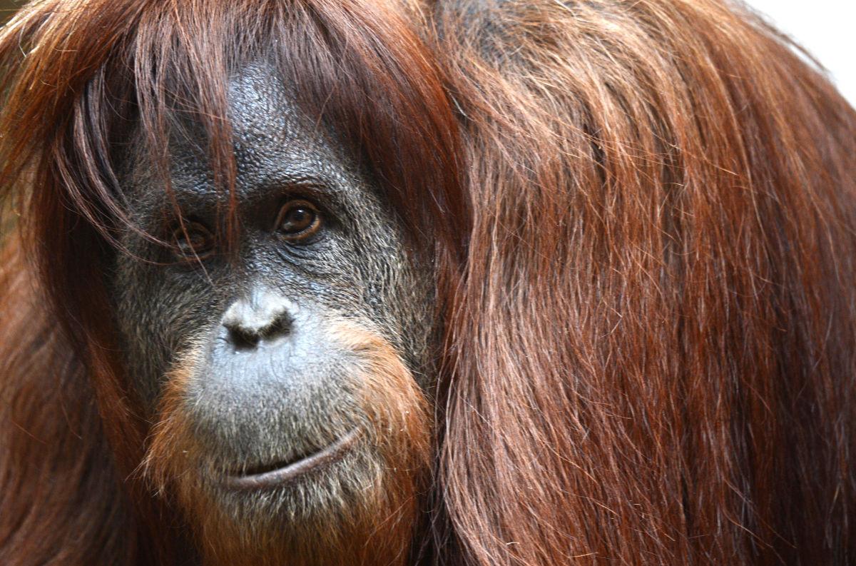 5 Fakta Menarik Tentang Orangutan yang Penting Kamu Tahu