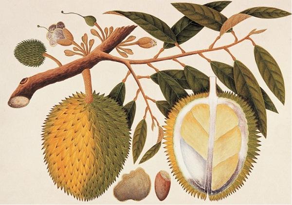 Lukisan durian koleksi William Farquhar, Gubernur Singapura pada masa pendudukan Inggris (Wikipedia)