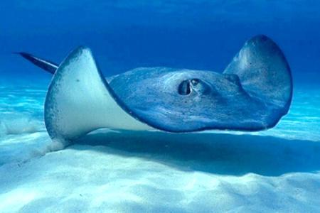 Ikan Pari (www.suara-alam.com)