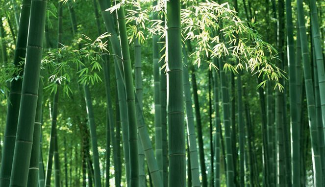 Bambu (Jurnalasia)