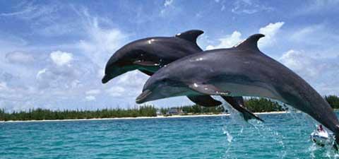 Menikmati Atraksi Lumba-lumba Liar di Teluk Kiluan