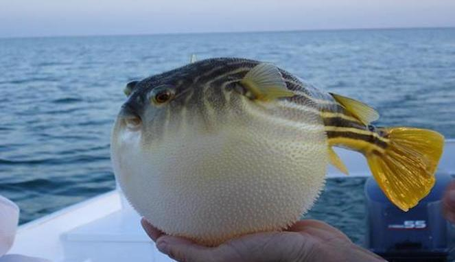 Blowfish (Lihat)