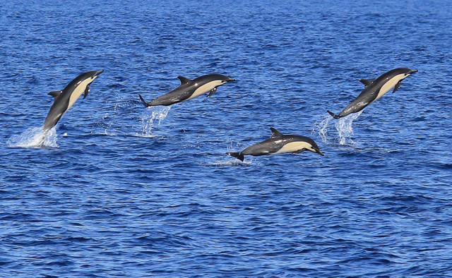 Ilustrasi lumba-lumba (National Geographic)