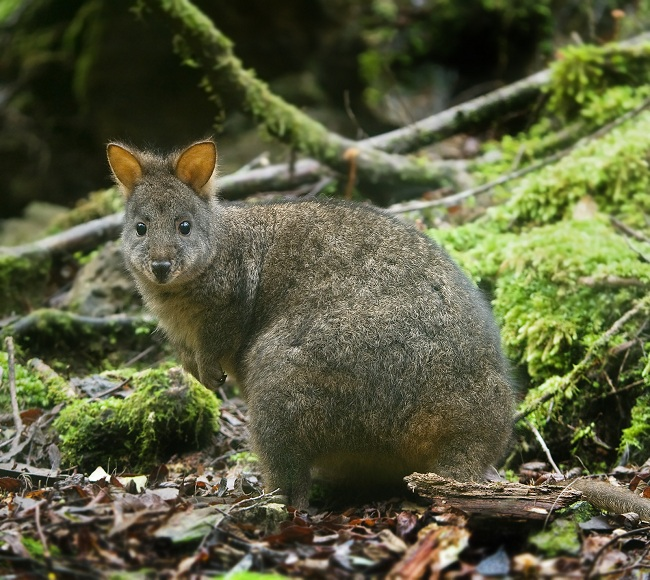 Thylogale brownii atau Brownâ??s pademelon (Dream)
