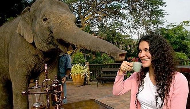 Minum kopi dengan gajah (Hindustantimes)