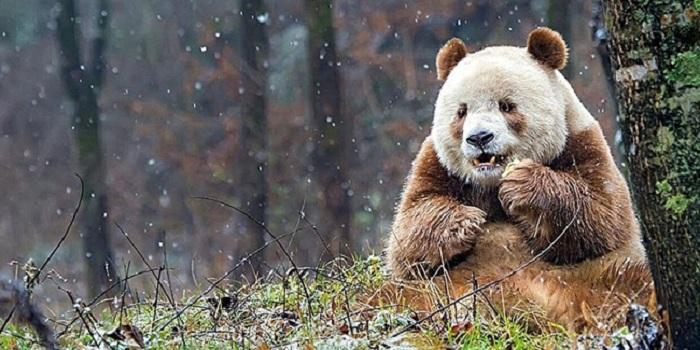 Cuma Satu di Dunia, Panda Ini Miliki Bulu Warna Coklat