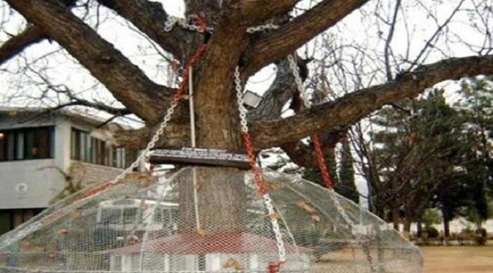 Misteri Pohon yang Dirantai Selama 119 Tahun Karena Disangka Bisa Jalan