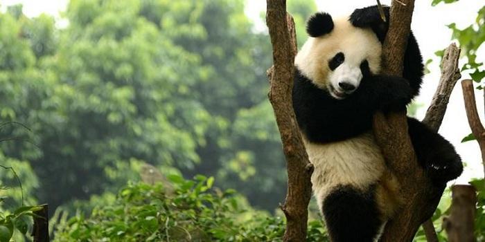 Sains di Balik Warna Hitam dan Putih Panda