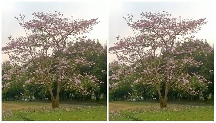 Selain di Jepang, Ternyata Bunga Sakura Juga Ada di Tangerang